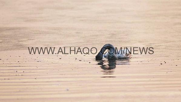"""بالصور.. طائر """"بجع"""" ينتحر حزناً على وفاة أمه التي كانت تطفو بجواره"""