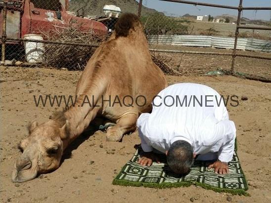 بالصور.. ناقة تحاكي صاحبها في السجود وحركات الصلاة