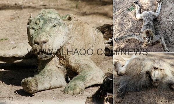 صور: عشرات الحيوانات تهلك جوعاً في حديقة حيوان بغزة