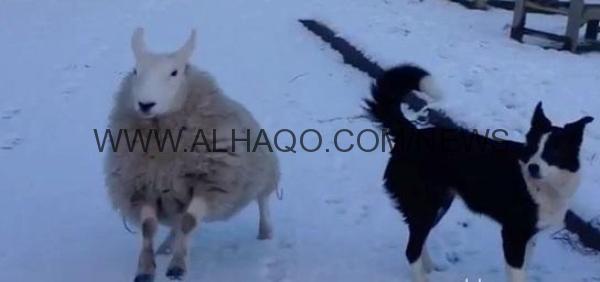فيديو لخروف يطارد كلبين يحقق 2 مليون مشاهدة على يوتيوب