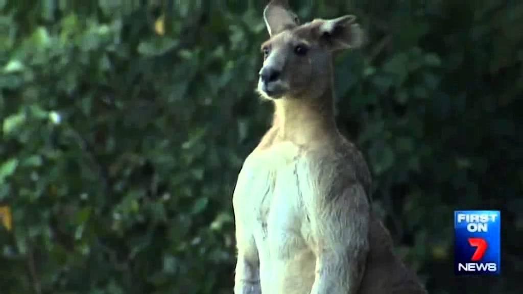 صور وفيديو: كنغر عملاق يثير رعب السكان بأستراليا