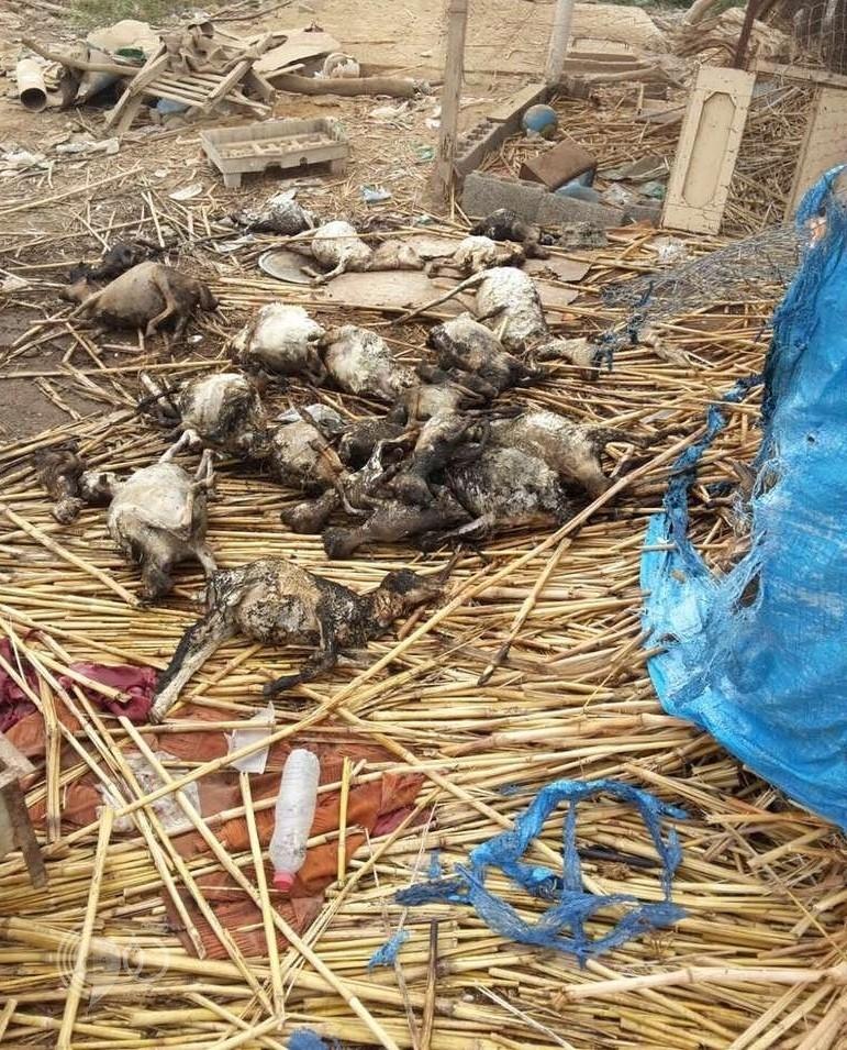 """مجهولون يحرقون 35 رأسًا من الأغنام """"حية"""" في حظائرها بصامطة"""