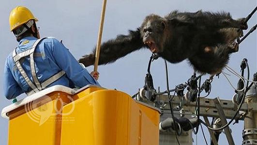 بالفيديو: شمبانزي يثير الفوضى في اليابان