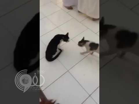 بالفيديو : قطط تحول ساحة الحرم لحلبة مصارعة.. والزوار يفشلون في فك الاشتباك!