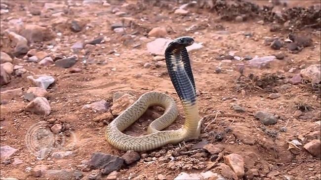«الوطني للأمصال» يحذّر سكان جازان من الثعابين الفتاكة