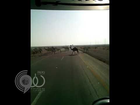 بالفيديو.. قطيع من الإبل يفاجئ مركبة مسرعة ونجاة صاحبها من موت محقق