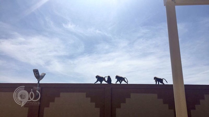 """شاهد.. كلاب وقرود تتسلّل إلى حرم """"جامعة بيشة"""" فرع بلقرن وتثير ذعر الطالبات"""