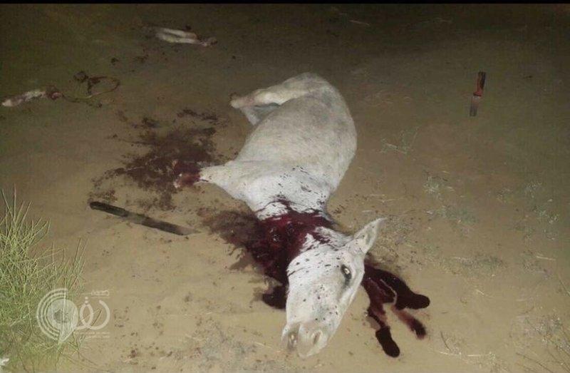 """محافظة ضمد : ضبط عمالة تذبح """"حماراً"""" في منطقة خالية"""