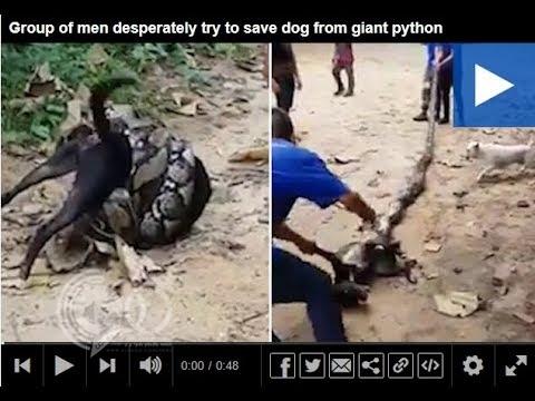بالفيديو: ثعبان يلتف على كلب أمام الجميع ويهم بالتهامه