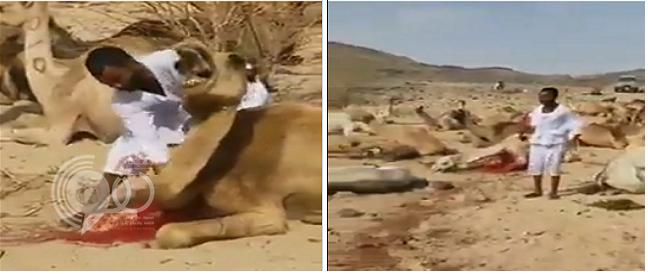بالفيديو.. عامل ينحر عشرات الإبل في الصحراء بطريقة عشوائية!