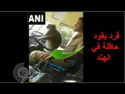 شاهد بالفيديو.. «قرد» يقود حافلة ركاب بالهند