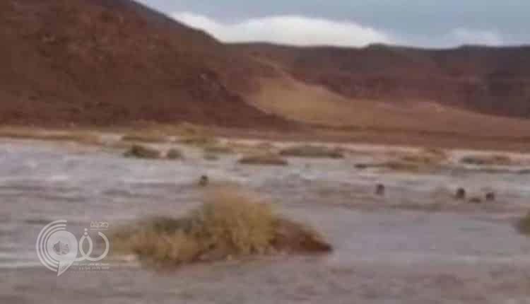شاهد فيديو لمتهورين يسبحون في سيول السعودية.. والدفاع المدني يحذر