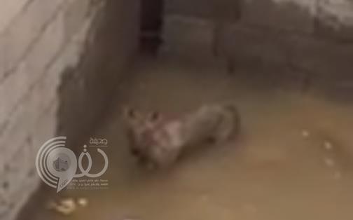 شاهد.. ماذا فعل مواطن مع ذئب وجده محتجزاً في خزان مياه تحت الإنشاء