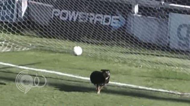 واقعة لا تتكرر في عالم المستديرة.. كلب ينقذ مرمى من هدف مؤكد في الدوري الأرجنتيني (فيديو)