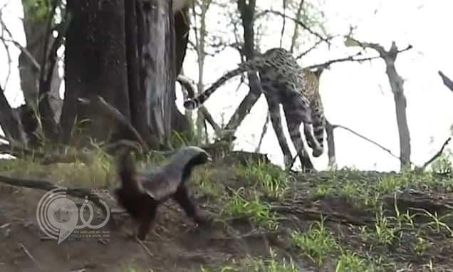 بالفيديو: أنثى غرير العسل تدخل في معركة شرسة مع فهد لإنقاذ صغيرها