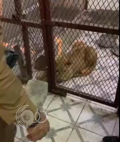 شاهد.. لحظة هروب مروج مخدرات بالرياض والعثور على أسد يقاوم به رجال الأمن
