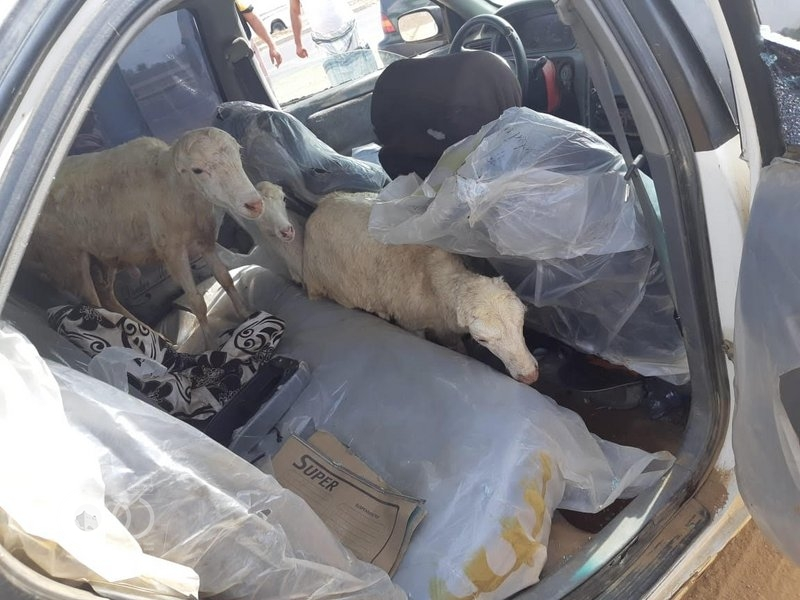 """شرطة جازان تلقي القبض علي مافيا سرقة """"المواشي"""" بالمنطقة"""