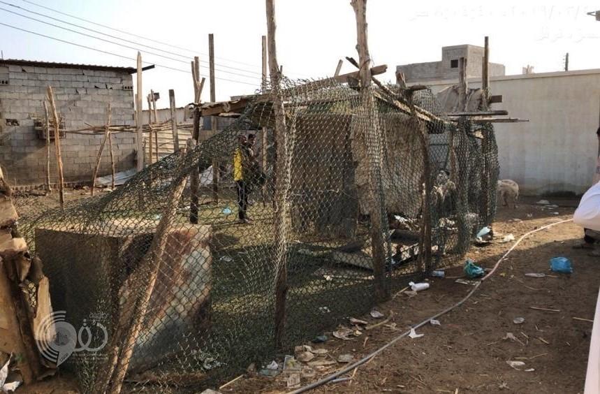 """إزالة """"592"""" حظيرة من حظائر الماشية المخالفة بمحافظة صبيا.. صور"""