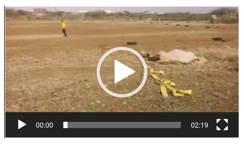 فيديو – ناقة تتعرض لصعق كهربائي من أسلاك الضغط العالي .. وهكذا تم إنقاذها!