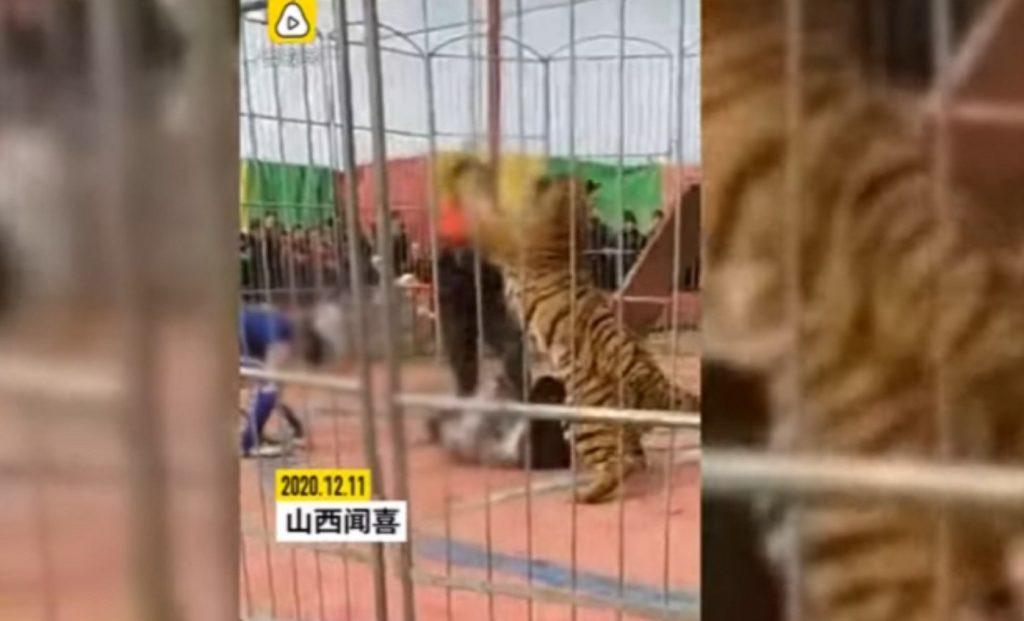 لحظة صادمة.. شاهد: نمر يفترس مدربه داخل قفص السيرك.. وعامل يتدخل لإنقاذه