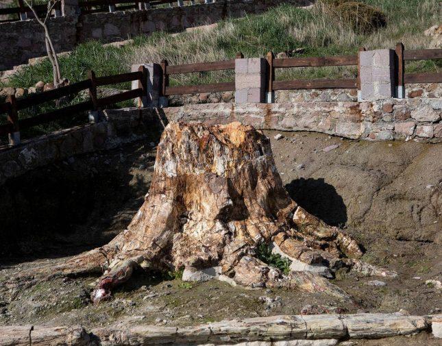 اكتشاف علمي نادر .. لن تصدق عمر هذه الشجرة !- صور