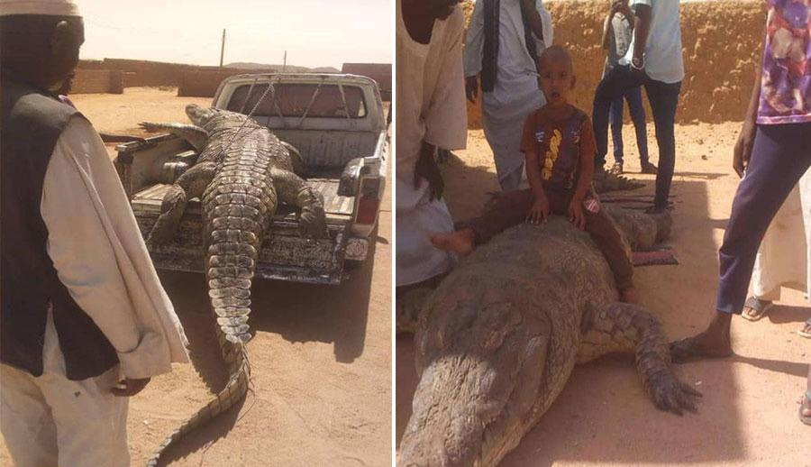 التهم شخصين .. شاهد مزارع يصطاد أضخم تمساح في السودان بعد مطاردة استمرت ٢١ يوماً