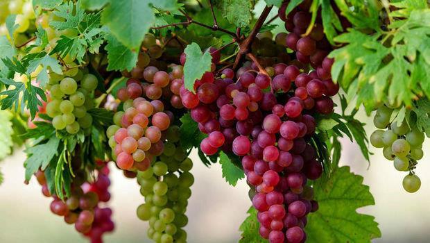 مضاد للالتهابات ويعزز صحة العظام.. فوائد عديدة للجسم من تناول العنب