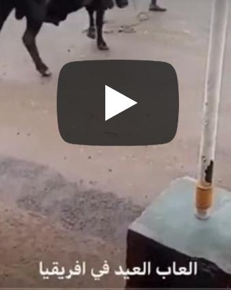 بالفيديو..رجل يصارع ثوراً إفريقياً هائجاً ويمسك قرنيه بقوة ويروضه