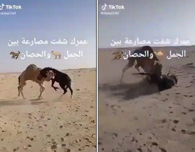 """شاهد.. معركة شرسة بين """"جمل"""" و""""حصان"""" في منطقة صحراوية بدولة خليجية"""